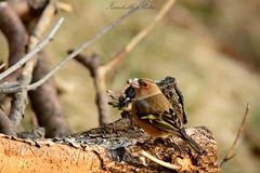 Fringuello (Pietro Zucchelli) Tags: fringuello finch capanno bird wild wildlife pizetaphoto