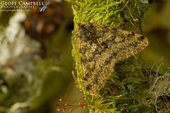 Pale Brindled Beauty (Phigalia pilosaria) (gcampbellphoto) Tags: pale brindled beauty phigalia pilosaria moth insect invert nature wildlife north antrim northern ireland ballycastle gcampbellphoto