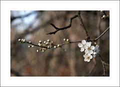 ..primavera presto... (alesolofoto) Tags: schiranna primavera spring flowers fiori
