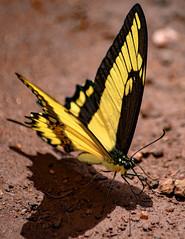 Série borboletas:Heraclides thoas brasiliensis (Marcos Simanovic) Tags: insectsinsectbugbugsbugslifemacrocloseupnatureanimalsanimalsinstanatureinstagoodmacrogardenermacrophotographycreaturecreaturesmacrocreaturefeaturephotoofthedaywildlifenatureshootersearthnatureloverlovenature borboletas borboleta butterfly butterflies simanovic tvminuto lepdopteros