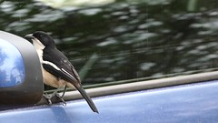 Common Fiscal (Lanius collaris) shadow boxing ... (berniedup) Tags: lowersabie kruger commonfiscal laniuscollaris bird shrike taxonomy:binomial=laniuscollaris shadowboxing