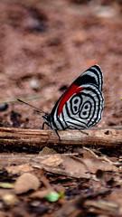 Série borboletas: 88 Diaethria clymena (Marcos Simanovic) Tags: butterflies butterfly borboletas borboleta diaethriaclymena 88