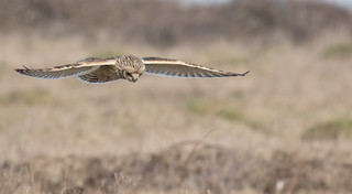 Short eared Owl Zeroing in on target
