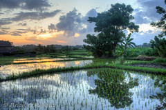 Reflection Of Sorrow (Brian O'Mahony) Tags: beautiful bali trees brianomahony sunset canon6d clouds paddy fields water orange reflection canon2470mmf28l indonesia canon nature landscape sukawati grass thephotographiceye