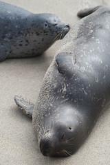 Young Harbor Seal Nursing. (LisaDiazPhotos) Tags: la jolla san diego young harbor seal childrens pool nursing lisadiazphotos