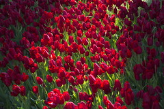 _DSC0795 (Riccardo Q.) Tags: parcosegurtàtulipani places parco altreparolechiave fiori tulipani segurtà