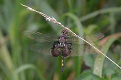 Black Saddlebags (dbifulco) Tags: dragonfly nj odonata pineisland blacksaddlebags wallkillrivernwr libertyloopmarsh