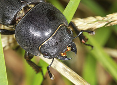 Photo of Lesser Stag Beetle