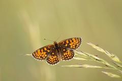 De passage **-*- °° (Titole) Tags: papillon butterfly orange titole nicolefaton explored friendlychallenges melitée damier thechallengefactory unanimouswinner challengeyouwinner