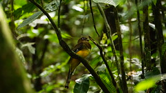 Calda rajada / Striped tail (ricardo.baena) Tags: brazil bird nature brasil natureza pssaro bi paranapiacaba notreatment semtratamento a6000