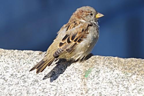 House Sparrow by River Daugava, Riga