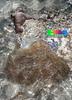 Magnificent sea anemone (Heteractis magnifica) (wildsingapore) Tags: nature island marine singapore underwater wildlife north coastal shore intertidal seashore pulau marinelife magnifica semakau cnidaria wildsingapore actiniaria heteractis