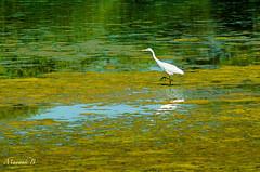 Intermediate Egret, a Portrait (Mayank Bhatnagar) Tags: lake reflection water waterbird algae egret wetland yellowgreen bharatpur aportrait intermediateegret keoladeonationalpark watertexture ramsarsite solitarybird ardeaintermediaintermedia