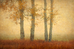 Foggy Bottom LII (EdBob) Tags: aspen aspentrees foggybottom foggy fog nature texture textured field edmundlowephotography allmyphotographsare©copyrightedandallrightsreservednoneofthesephotosmaybereproducedandorusedinanyformofpublicationprintortheinternetwithoutmywrittenpermission leaves pasture usa america methow valley winthrop washington highway20 northcascadeshighway rural country trees wwwedmundlowephotocom