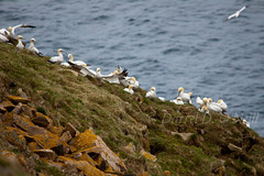 Northern Gannets 4 (LongInt57) Tags: ocean blue sea brown white canada green nature water birds yellow newfoundland flying rocks wildlife cliffs atlantic breeding mating northern rookery gannets nesting seastack capestmarys capesaintmarys