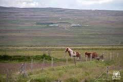 Horses (andrea.prave) Tags: horses horse animals island caballo cheval caballos tiere iceland islandia cavalos animales animaux animais pferde cavalli cavallo pferd animali  islande chevaux   islanda    hestar      norurland