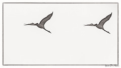 Grue cendre (Grus grus) (yann.dimauro) Tags: france eau champagne lac grand du animaux der fr oiseau haute tang marne coulon hautemarne lacduder migrateur champagneardenne ornithologie larzicourt grandcoulon