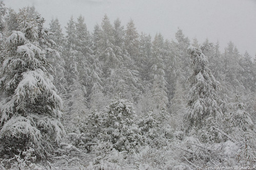 "Snow Covered Pine Trees • <a style=""font-size:0.8em;"" href=""http://www.flickr.com/photos/65051383@N05/22292052855/"" target=""_blank"">View on Flickr</a>"