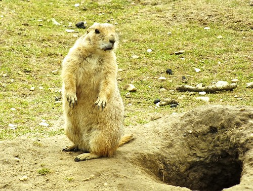 Prarie dog and hole