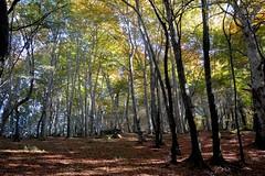Faggeta di monte Fogliano (giorgiorodano46) Tags: bosco faggio faggi faggeta fogliesecche monticimini montefogliano novembre2015