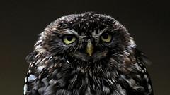 Maxi (Nephentes Phinena ☮) Tags: nikond300s wildparkeekholt steinkauz littleowl falknerei falconry bird birds animals