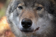 Wolf.. (Brenda Tiel fotografie) Tags: animal zoo wolf wildanimal dier rhenen