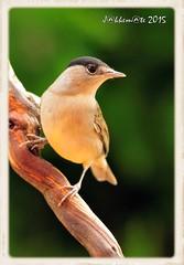 CURRUCA CAPIROTADA (Sylvia atricapilla) (JORGE AMAYA BUSTAMANTE - JAKKEMATE) Tags: birds macho sylvia atricapilla photonature currucacapirotada nikond300 birdwachting sigma150500 jakkemate jorgeamayabustamante