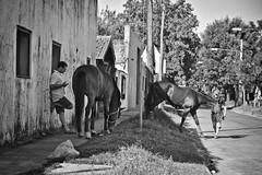 (JuanFL) Tags: light shadow horse white black blanco luz argentina canon caballo caballos eos rebel workers buenos aires negro sombra stable martinez equestrian turf stus trabajadores establo hipodromo 550d caballeriza t2i cuidadores