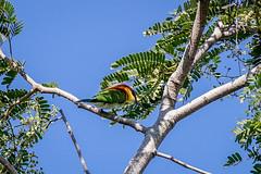 Chestnut-headed Bee-eater (Bay-headed Bee-eater) (arnewuensche66) Tags: birds wildlife vgel beeeater bienenfresser chestnutheadedbeeeater meropsleschenaulti braunkopfspint