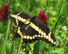 12 Days of Christmas Butterflies:  #6 Giant swallowtail in scarlet clover (Vicki's Nature) Tags: red black yellow canon butterfly georgia spring stripes large spots april wildflowers rare s5 giantswallowtail pigeonmountain 3984 scarletclover vickisnature 12daysofchristmasbutterflies2015
