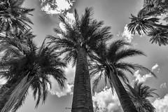 Palmas de Cocalan_MAV4224 (http://cargocollective.com/MacarenaAltayo) Tags: parque palmas de cocalan palmasdecocalan palmachilena blanco y negro