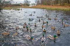 Mallards (Arnt Kvinnesland) Tags: mallards ducks birds wildlife outdoor pond lake waterbirds winter stokkand ender ferskvann dam tjern desember vinter vormedal karmy norway