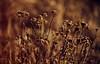 Dichtes Gedränge sieht bei Blumen immer rücksichtsvoller aus. Oder ich hab nur keine Lust, später auf den Weihnachtsmarkt mitzugehen. (Manuela Salzinger) Tags: winter schwarzwald blackforest morgen morning wiese meadow blume flower verwelkt withered sonnenaufgang sunrise