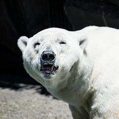 Polar Bear Wilhelma Stuttgart (hanspartes) Tags: bear polarbear animal white weiss