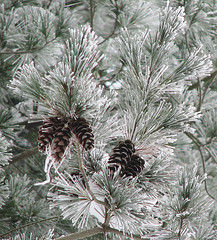 - pine needles covered with hoarfrost - (Jac Hardyy) Tags: pine needles covered with hoarfrost hoar frost sprig sprigs eastern white frostily frory cone zweig zweige nadeln kiefer kiefernnadeln kiefernzweig kiefernzweige raureif weymouth strobe weymouthskiefer pinus strobus frostig kalt cold frosty winter branch branches soft nothern rime weymouthkiefer