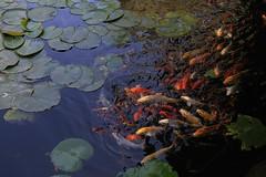 Peces (José Lira) Tags: peces colores estanque jardín japonés jojutla morelos méxico canon eos 6d agua