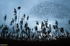 Starling reedbed roost III (Dom Greves) Tags: behaviour bird dorset flock january murmuration pooleharbour purbeck reedbed starling studland uk wetland wildlife winter