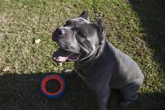 IMG_8246 copy (Elise Granados) Tags: loki canecorso fetch dog