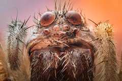Morgan Freespider (masquerade81) Tags: focusstack face nature insect hunter animal arachnaphobia head closeup extreme arachnid bug eyedetail spider alone macro dead detail