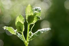 photosynthèse (rondoudou87) Tags: bokeh plante plant vert green light lumière water drop goutte droplet sunlight dof pentax k1