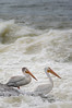 Fishin' Buddies (Dan Fehr) Tags: americanwhitepelican bird birds pelican rapids river saskatchewan sturgeonweirriver water