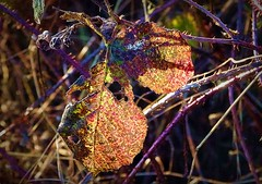 2016-12-27 Beaurepaire (84)dead leaf (april-mo) Tags: leaves leaf feuille frosted frost gel deadleaves autumnleaves