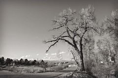 Think Snow! (catmccray) Tags: littletoncolorado openspacetrail path cottonwoodtree blackwhite landscape winter