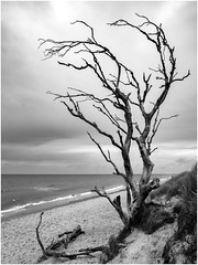 Weststrand II (tosch_fotografie) Tags: strand wolken see ostsee meer rau sand baum gehölz tod dünen schwarz weis wellen sturm stürmisch bodden zingst prerow weststrand urstrand gräser beach wood death sea clouds olmypus omd em1 12mm f20 landschaft landscape seascape