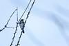 Oiseau (Grive litorne) (Clément Behra) Tags: oiseau bird canon 5d 100400mm 100400 400mm white snow neige hiver blanc france franche comté grive litorne