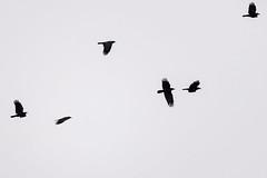 A Murder (E Rabeck) Tags: crow crows murder corvusbrachyrhynchos corvidae flight wings