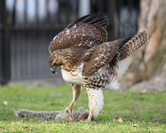 Red-tailed Hawk (malarchie) Tags: redtailedhawk buteojamaicensis hamiltonpark jerseycity