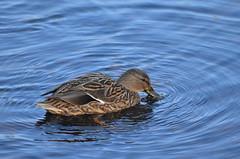All is blue (dfromonteil) Tags: bird oiseau canard duck water eau lake lac blue bleu nature