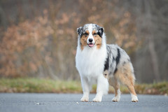 Working It (aussieinyellow) Tags: lux aussie australianshepherd bluemerle