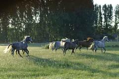 _le00376 (lotharlenz) Tags: shagyaaraber herde babolna